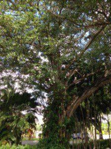 Triangle Park Big Banyan